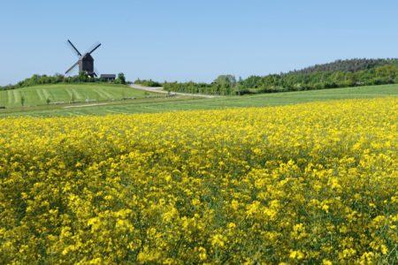 usedom-rapsfeld-windmuehle